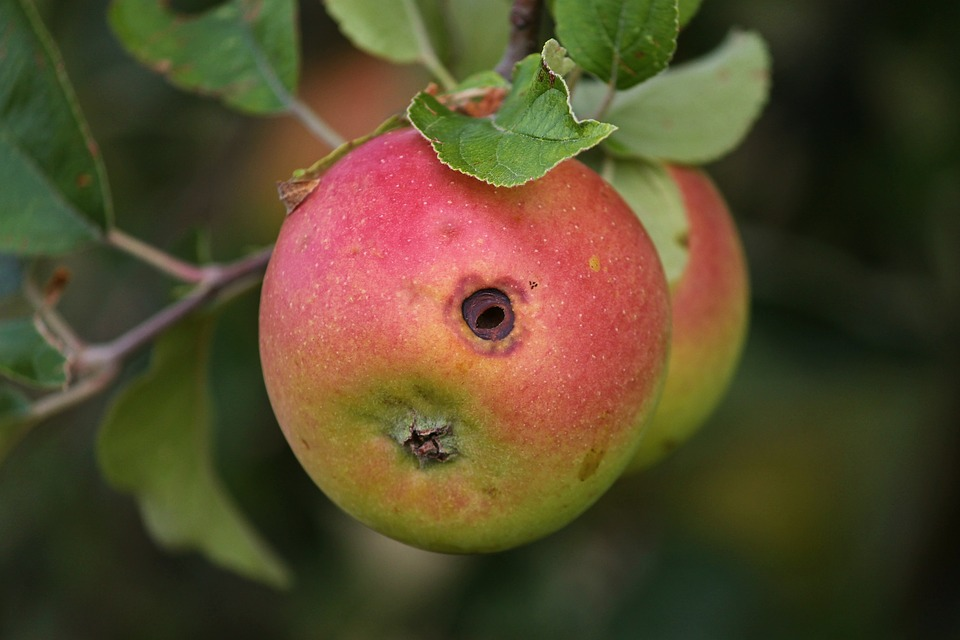 Червивое яблоко на ветке