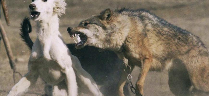 Подобранный щенок оказался волком
