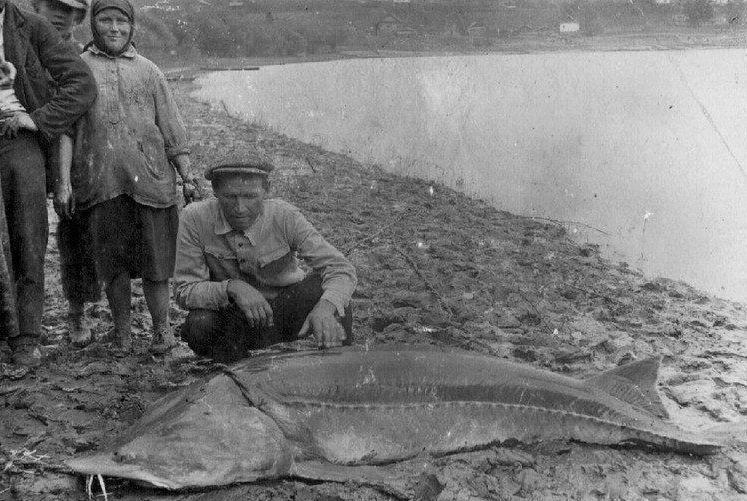 Пойманная рыба калуга