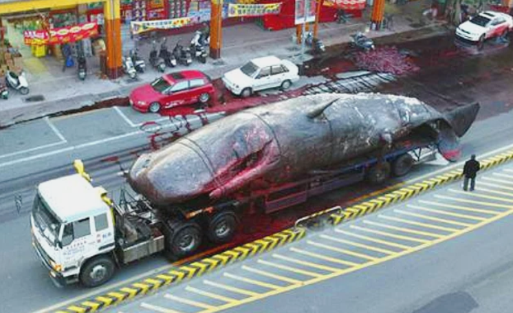 Тело кита перевозят на грузовике