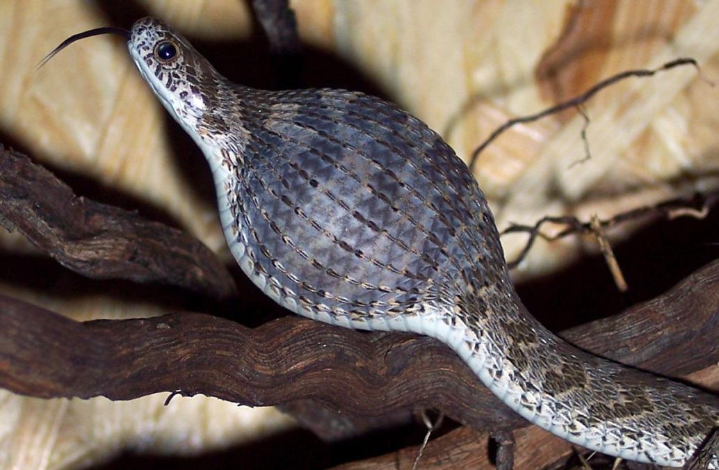 Африканская яичная змея