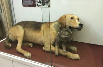 Двуглавая собака в музее