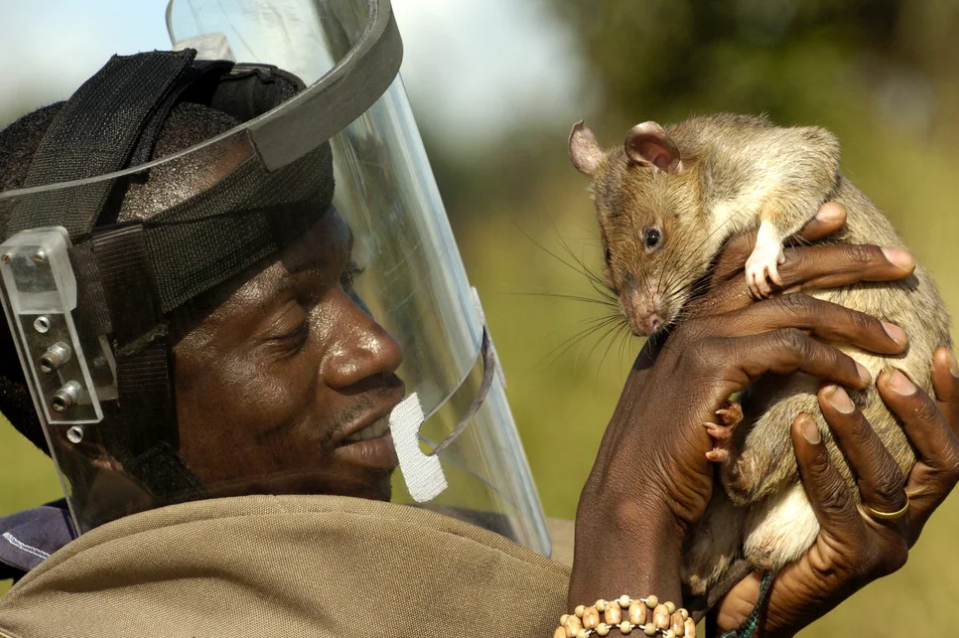 Гамбийские крысы