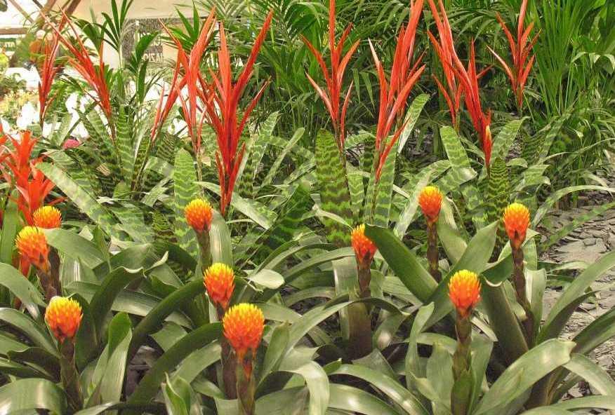 Имбирь растение