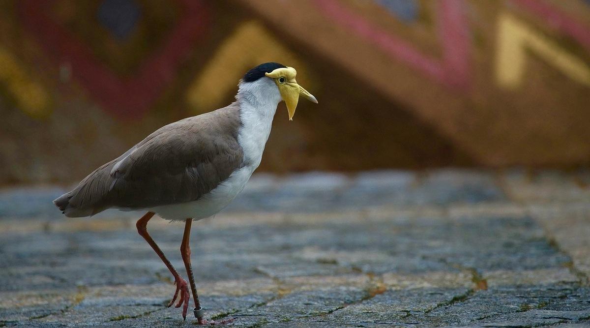 Птица солдатский чибис